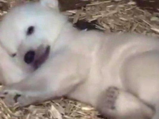 Η στιγμή που μια πολική αρκούδα γεννάει