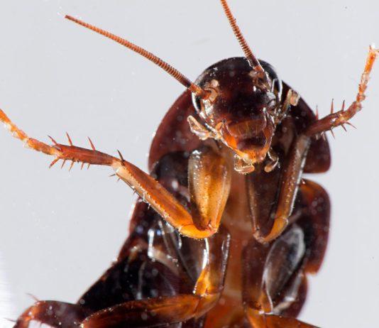 Αυτό είναι το βρώμικο μυστικό της κατσαρίδας