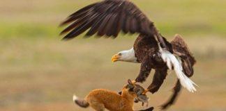 Επική στιγμή: Ένας αετός & μια αλεπού στον αέρα για έναν λαγό (βίντεο)