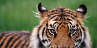 Και πώς οι ειδικοί γνωρίζουν τον αριθμό των τίγρεων που βρίσκονται υπό την αιχμαλωσία πολιτών