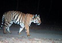 Τίγρης ταξίδεψε 3.000 χιλιόμετρα για να βρει ταίρι αλλά δεν τα κατάφερε